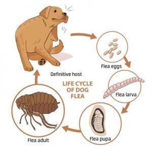Preventing Or Annihilating Fleas